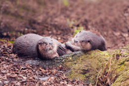 Pair of Young River Otters