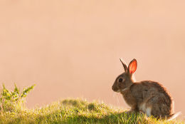 Backlit Rabbit