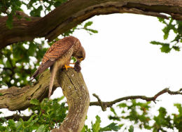 Kestrel with vole