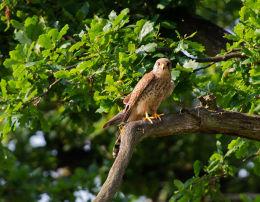 Female Kestrel perched in Oak tree