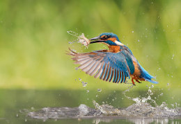 Male Kingfisher