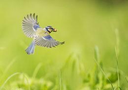 Blue Tit in Flight