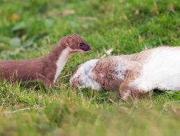 Bloodied Stoat with Rabbit