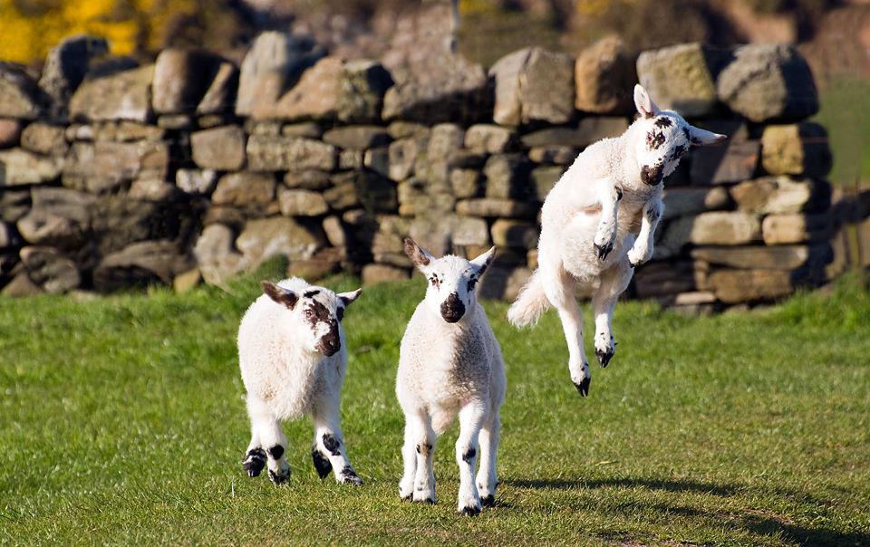 Black Faced Lambs