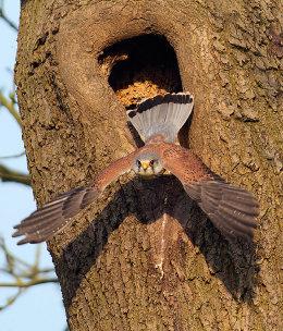 Male kestrel taking off from nest
