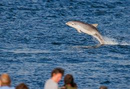 Dolphin calf
