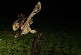 Tawny Owl landing on fence post
