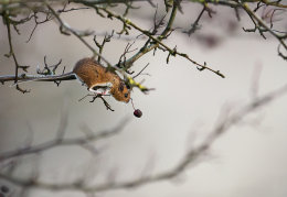 Wood mouse reaching for berry
