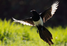 Backlit Magpie