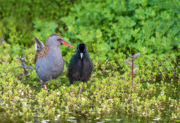 Water rail & chick