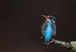 Kingfisher on a rainy day