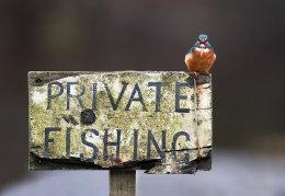 Cheeky kingfisher