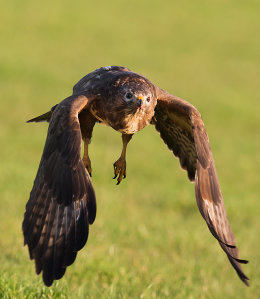 Female Buzzard