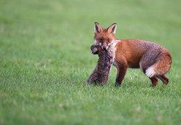 Fox & Prey
