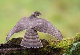 Female Sparrowhawk mantling prey