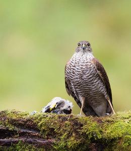 Sparrowhawk and prey