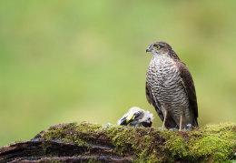 Female Sparrowhawk with prey