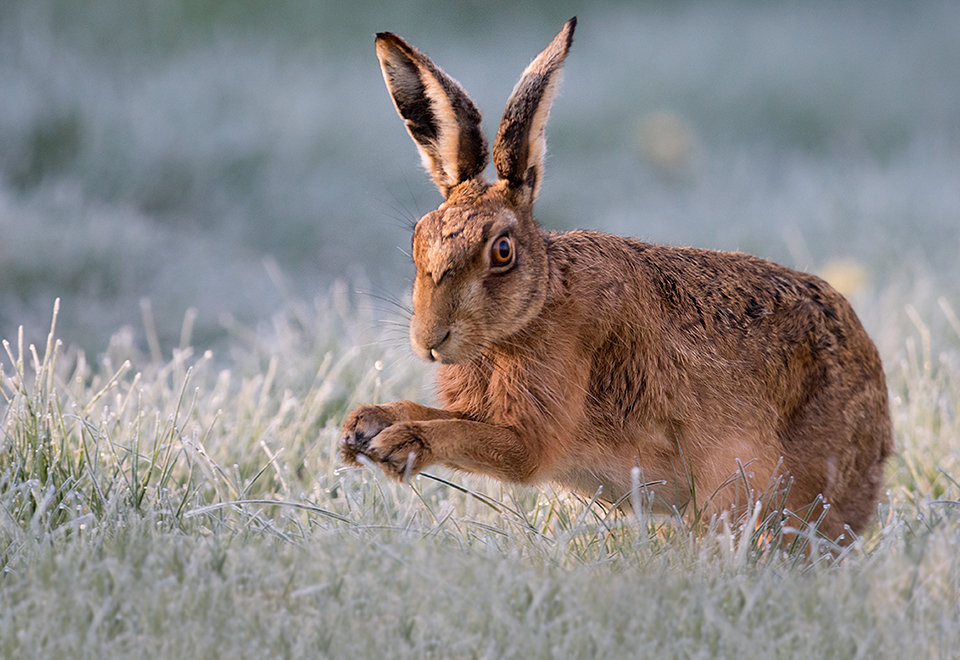 Brown Hare close encounter