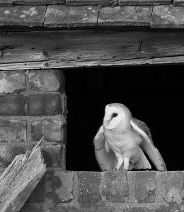 Barn owl in mono