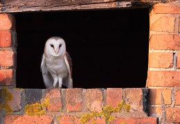 Barn owl evening sun