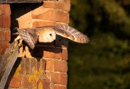 Barn, Owl