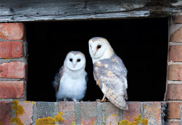 Adult Barn Owl & owlet