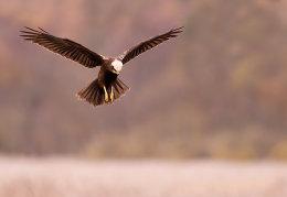Hovering female Marsh Harrier