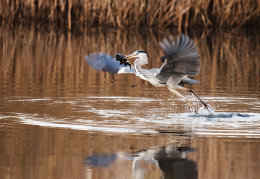 Grey Heron with Tench