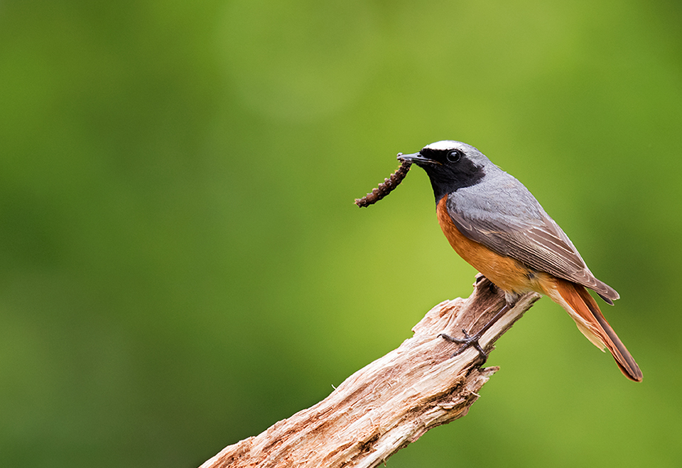 Male Redstart with caterpillar