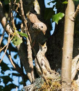 Mistle thrush nest