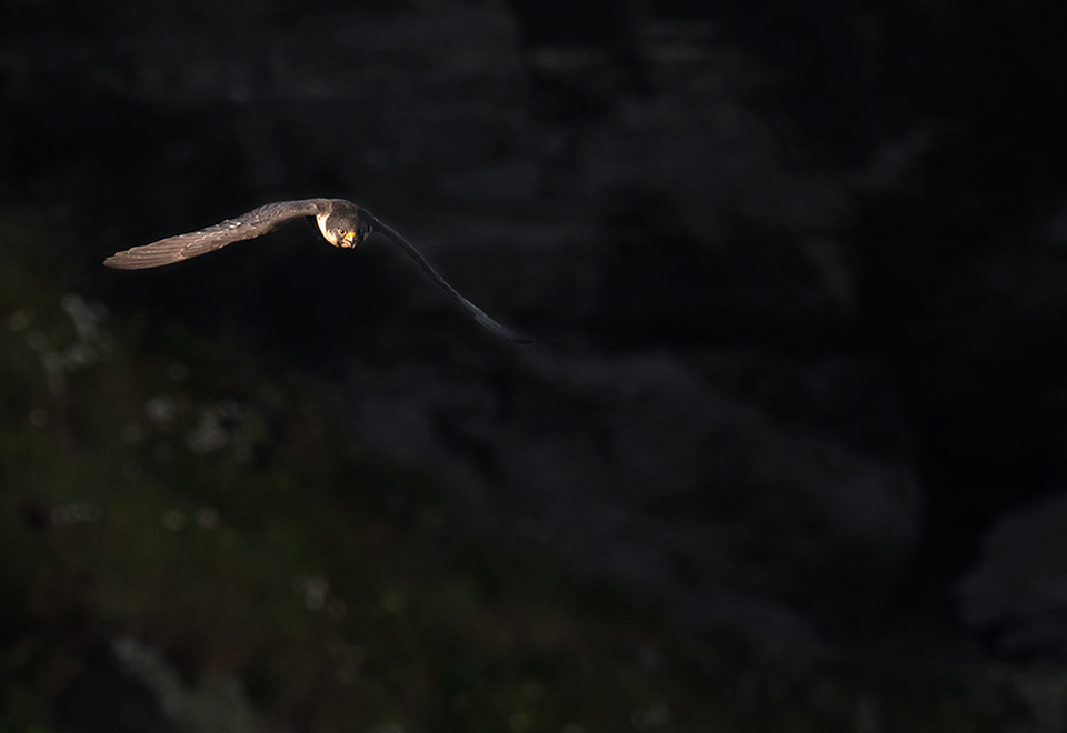 Peregrine at sunrise