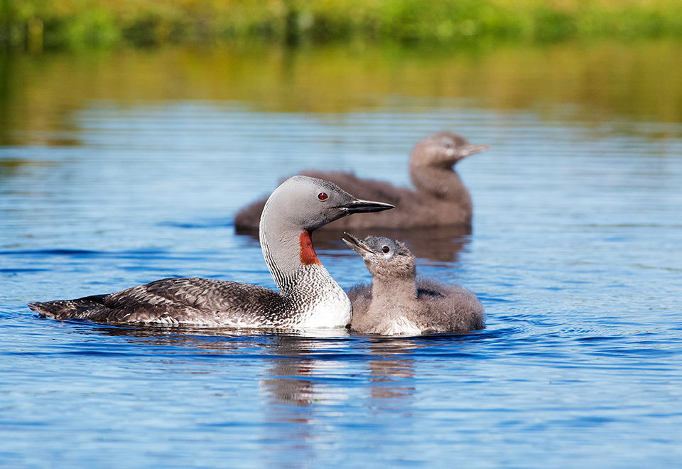 Red Throated Diver & chicks