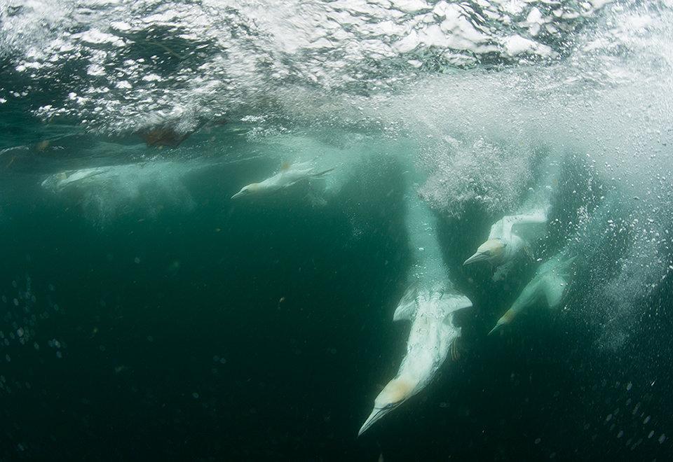 Gannet feeding frenzy