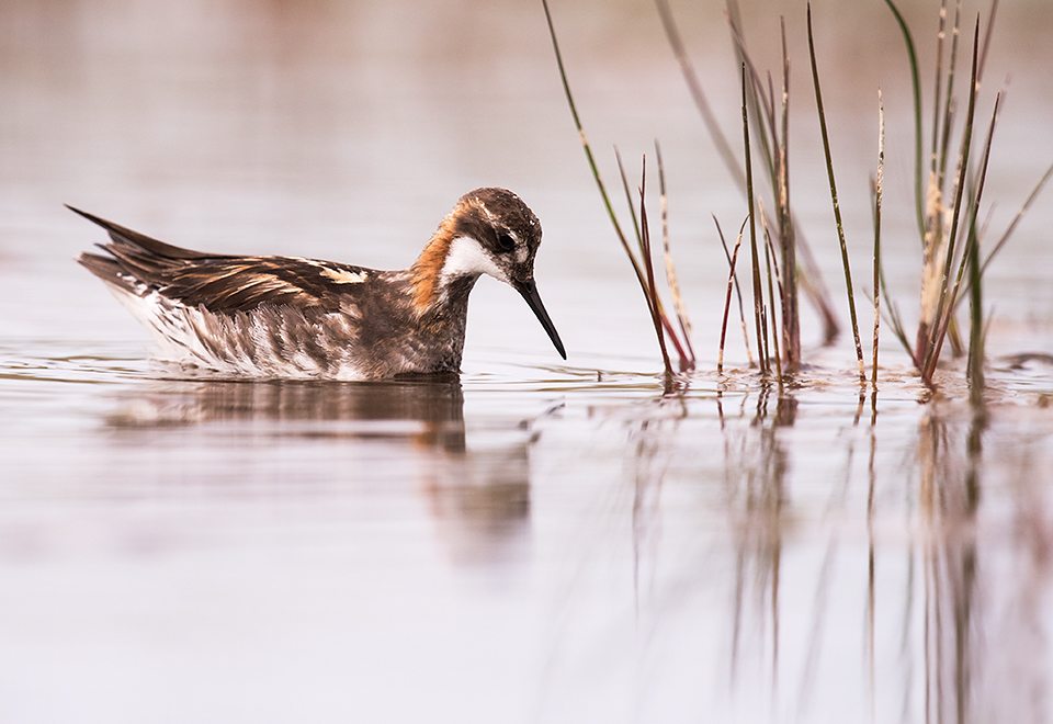 Male Red necked Phalarope