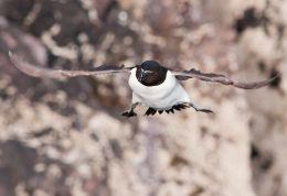 Razorbill in Flight