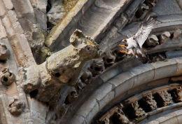 Gothic Peregrine