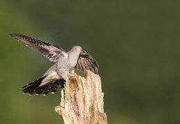 Cuckoo landing