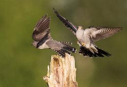 Pair of Cuckoo's