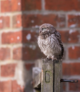 Perched Little Owl fledgling