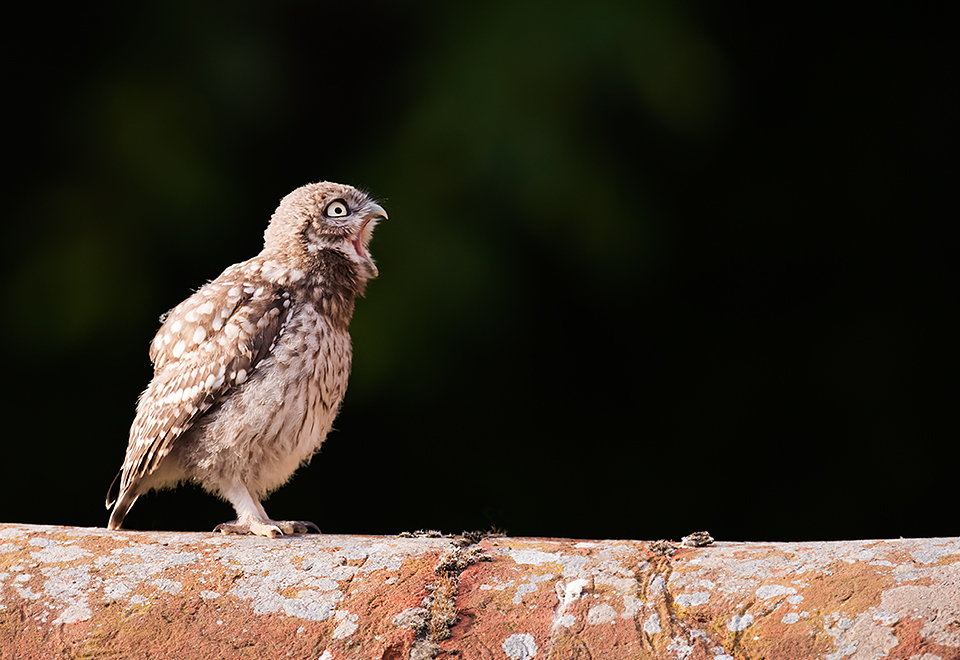 Yawning Little Owl