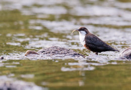 Dipper with fish