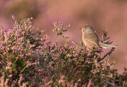 Dartfort Warbler on heather
