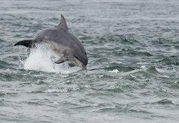 Breaching bottlenose dolphin