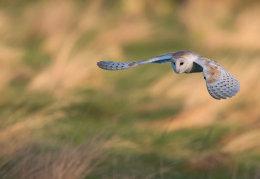 Gliding Barn Owl
