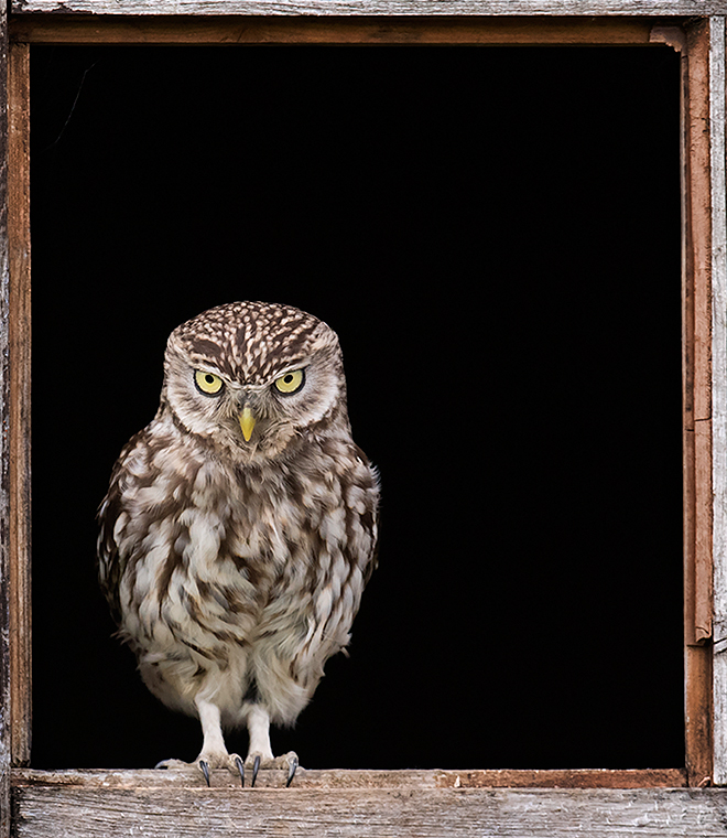 Little Owl stare