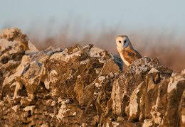 Barn Owl on old stone wall