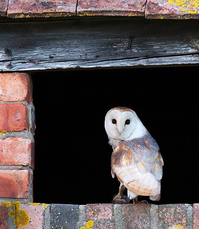 Barn Owl with vole