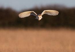 Barn Owl in evening sunlight
