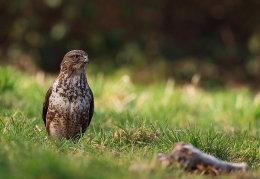 Common Buzzard with prey
