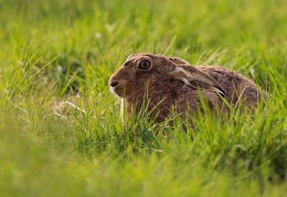 Brown Hare resting